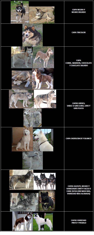 Color de capa del Siberian Husky