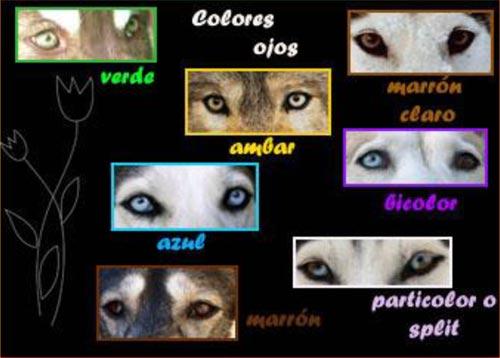 Color de ojos del Siberian Husky